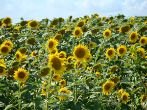 TuscanSunflowers