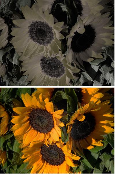 SunflowerVariations3