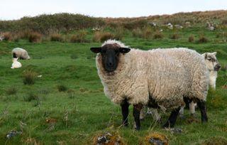 Sheep-in-field