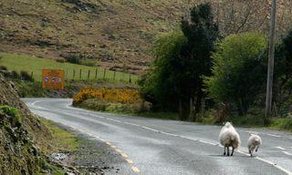 SheepOnRoad
