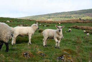 Irish-lambs