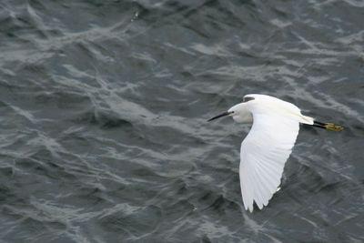 Egret-flying-on-Nile