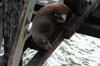 Sea-lion-lounging