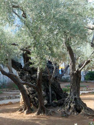 Garden-of-Gethsemene2
