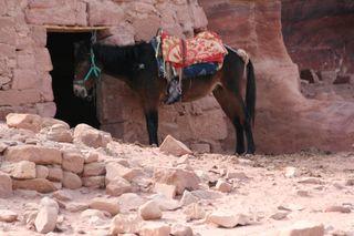 Donkey-in-Petra