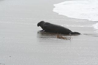Bull-elephant-seal