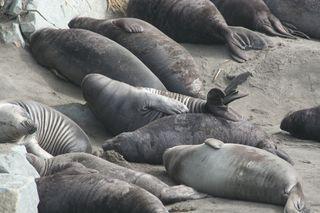 Elaphant-seals-on-the-beach