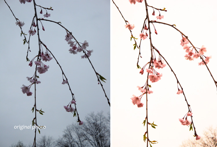 Weeping-cherry-ACR