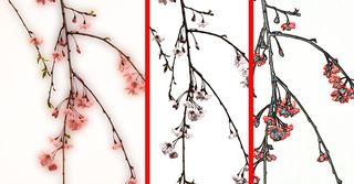 Weeping-cherry-actions