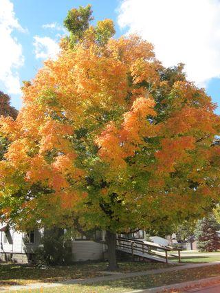 Mattawan-tree