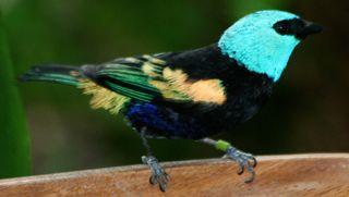 Blue-headed-bird