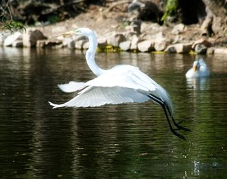 Egret-in-Audoban-Park