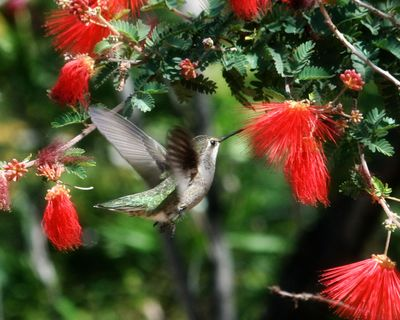 Hummingbird-at-fairy-duster