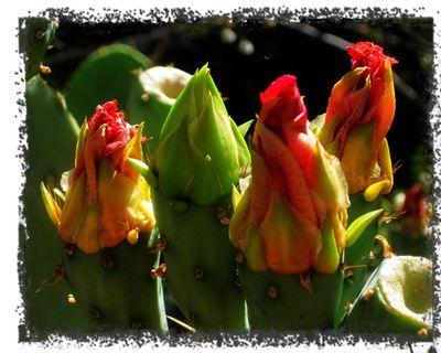 Cactus-rosebuds
