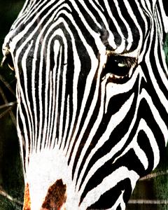Zebra-face-1