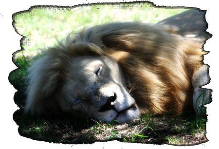 Sleeping-white-lion