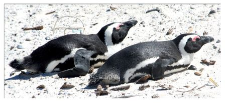 2-penguins-laying-on-the-beach