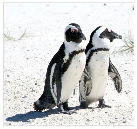 Penguin-pair