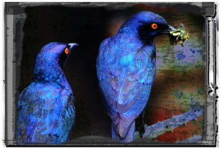 African-birds