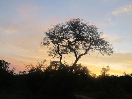 African-tree-at-sunset