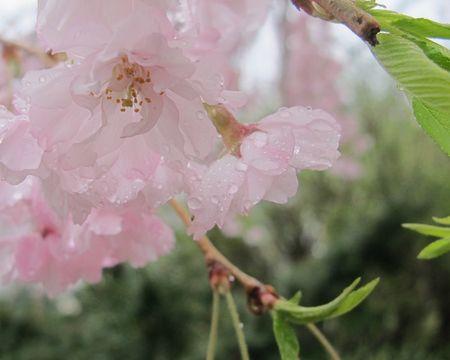 Original-photo-weeping-cherry-in-rain