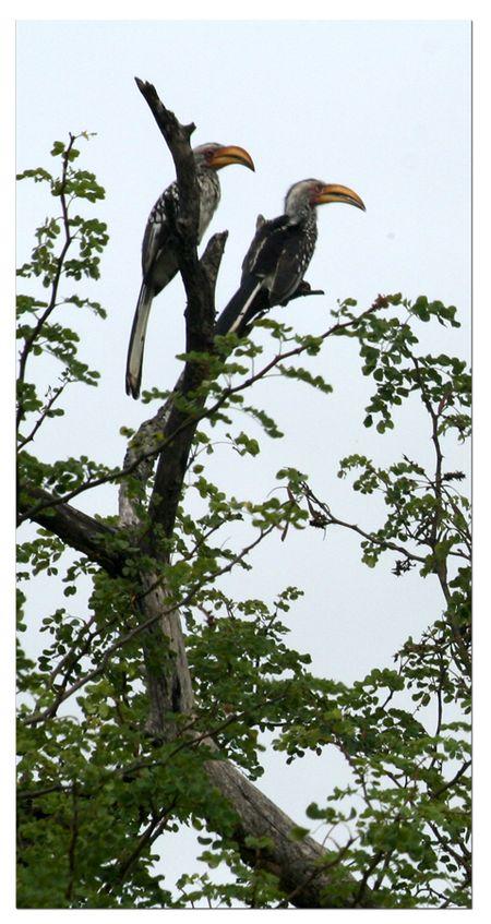 2-hornbills