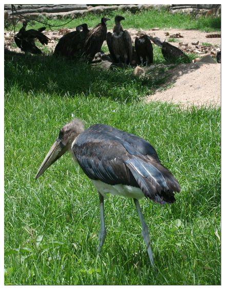 Mariboo-stork