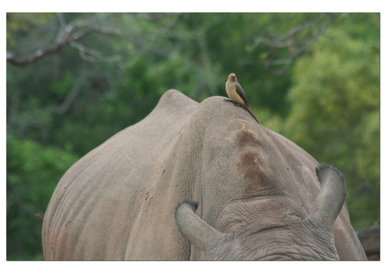 Bird-on-rhino