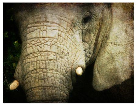 Elephanr-face-on