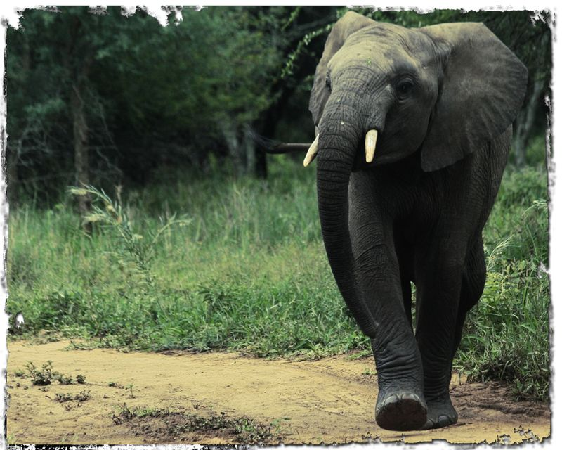 Young-elephant