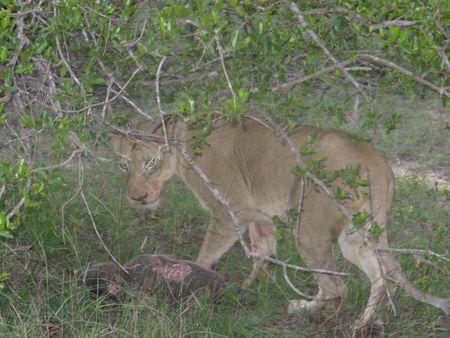 Liones-with-warthog