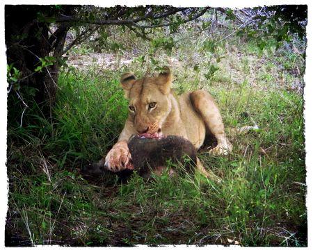 Lioness-eating-warthog