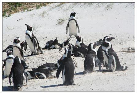 A-gathering-of-penguins