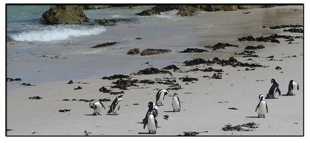 Penguins-grooming-on-beach