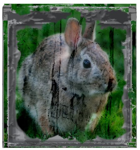 Backyard-bunny1