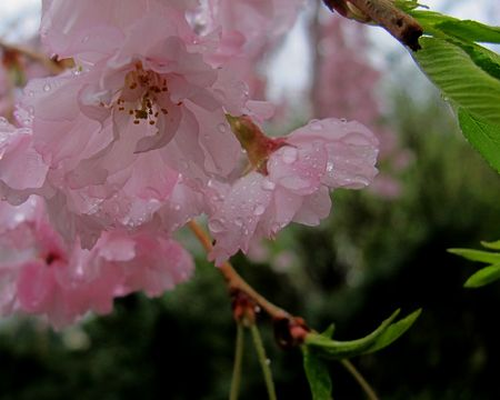Weeping-cherry-in-rainb