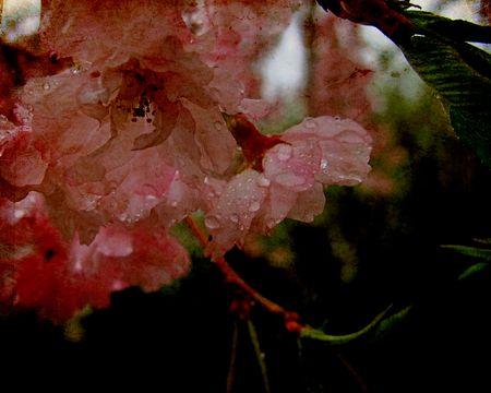 Weeping-cherry-in-rain-d