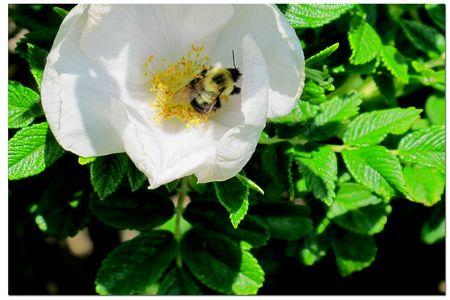 Bee-in-rose