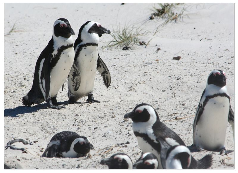 Penguins-at-Boulders-Beach