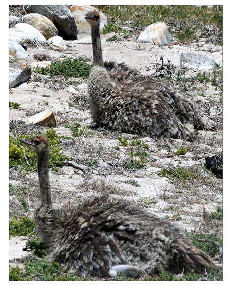 Juvenile-ostriches-2