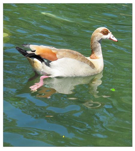 Egyptian-duck-in-Cape-Town