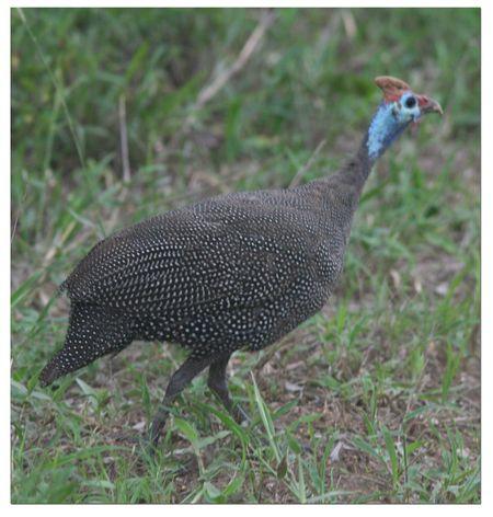 SA-guinea-hen