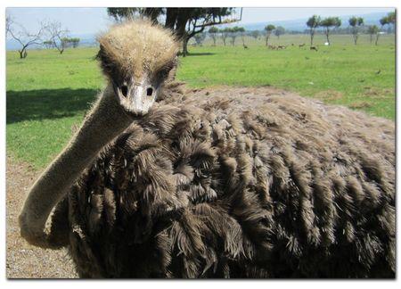 Ostrich-1