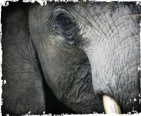 Elephant-eye-and-tusk