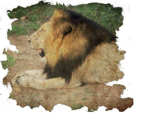 Lion-after-eating