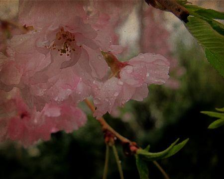 Weeping-cherry-in-rain-c