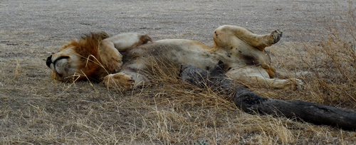 Tired-lion