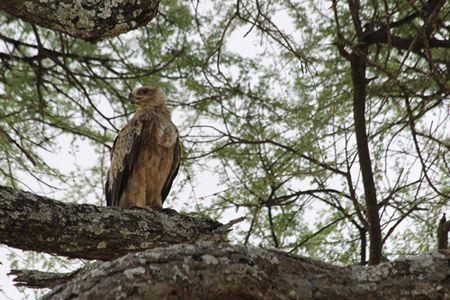 Tarangire-hawk