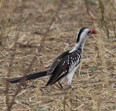 Tarangire-hornbill