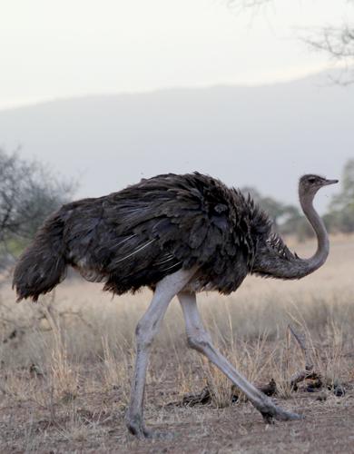 Tarangire-ostrich